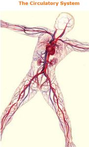 Autonomic nervous system influences blood vessels